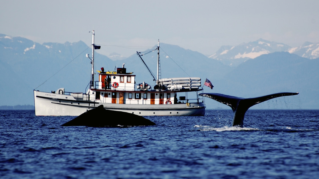 With a silhouetted mountain range backdrop, the historic Alaska small ship Catalyst floats on the water as two whales breach the water in front of it.