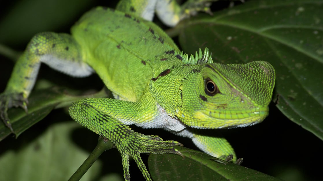 close up of a green lizard on a plant leaf in the night time