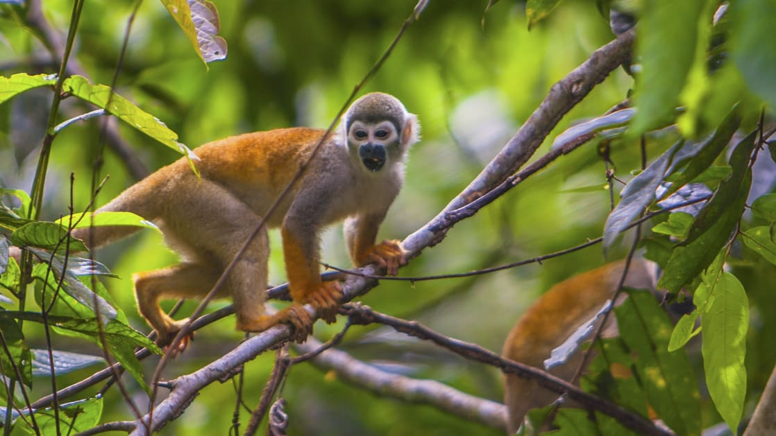 Monkey in a tree in the ecuadorian jungle