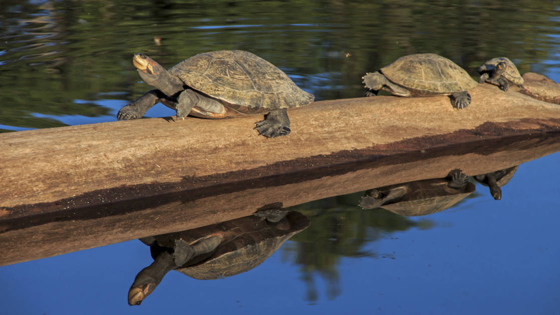 Several turtles on a log in the calm amazon with their reflection in the water