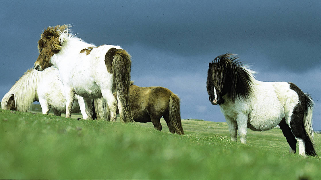 Four white, brown, and black haired Shetland ponies in a green field in the Shetland Isles of Scotland