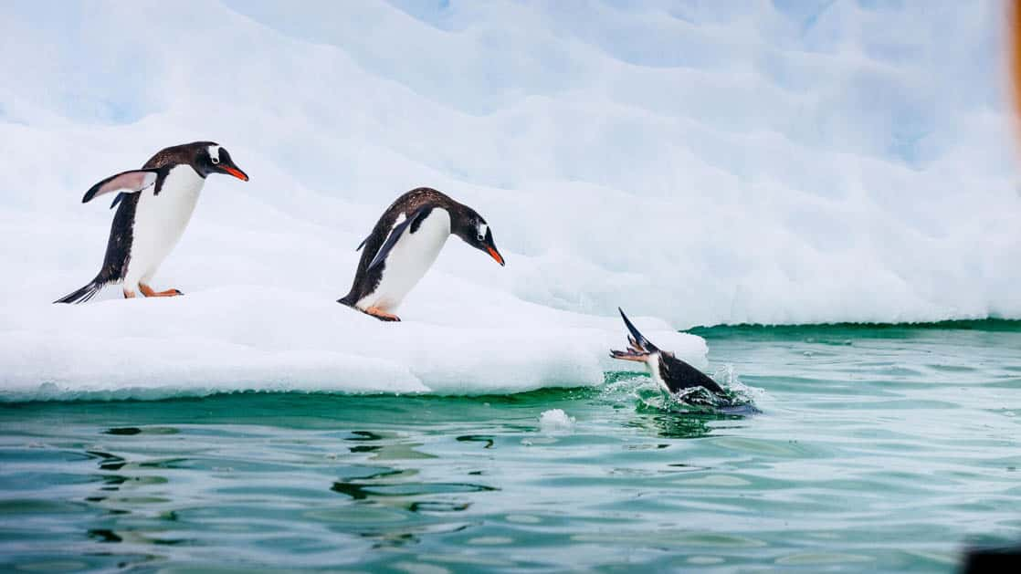 antarctic penguins lining up to jump off of a piece of ice into turquoise green water