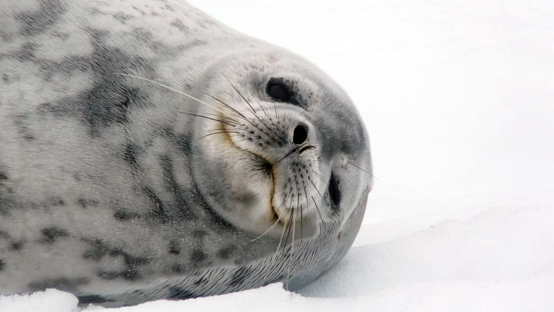 weddell seal relaxes on the snow in antarctica