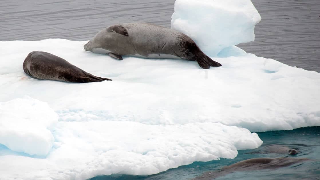 crabeater seals laying on an iceberg on an overcast day in antarctica