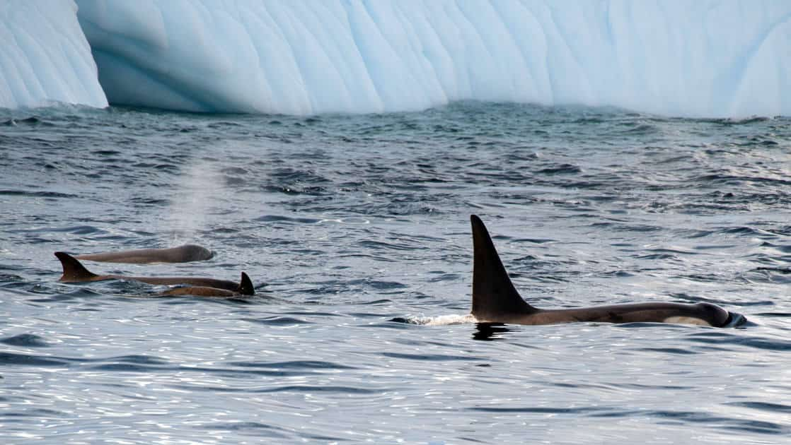 pod of orca swims in front of an iceberg on the antarctica peninsula small ship cruise