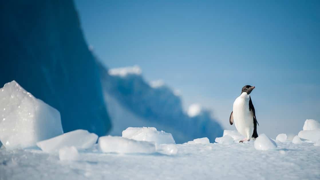 Solo penguin in an ice field with blue skies in Antarctica