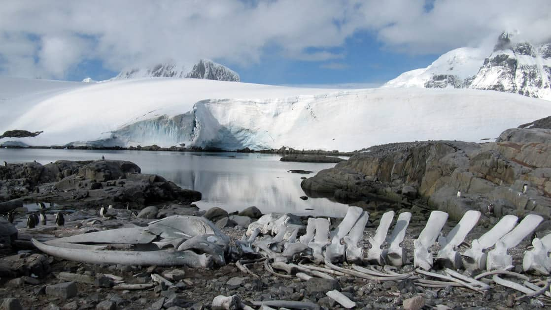 whale skeleton in the foreground with ocean and large snowy mountains in the background on a sunny day in antarctica