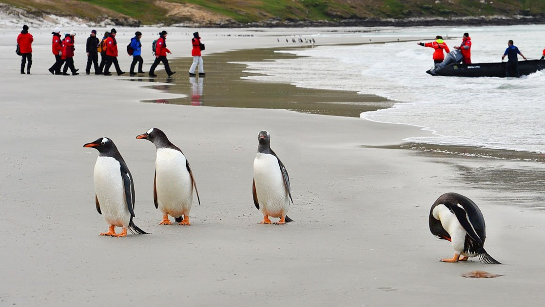 Expedition guests in red parkas walking on a sandy beach to their zodiac to return to their small cruise ship, with 4 penguins nearby.