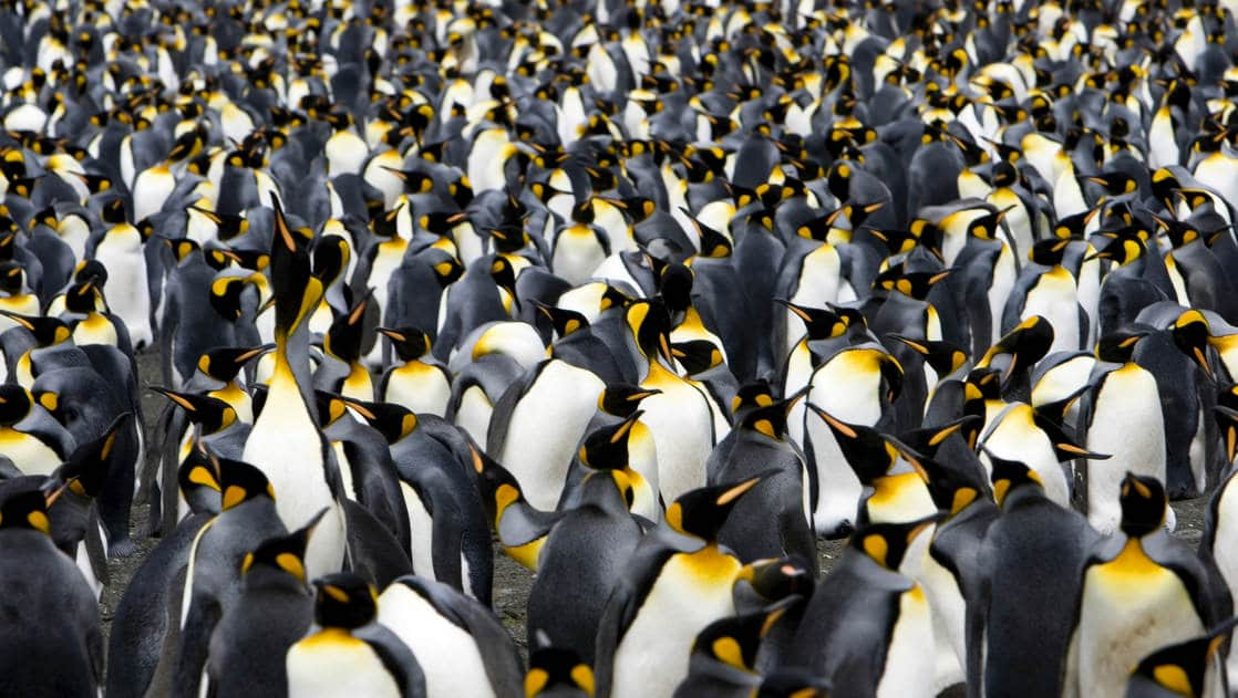 A colony of king penguins takes up the entire frame of the photo, as seen on an expedition to antarctica.