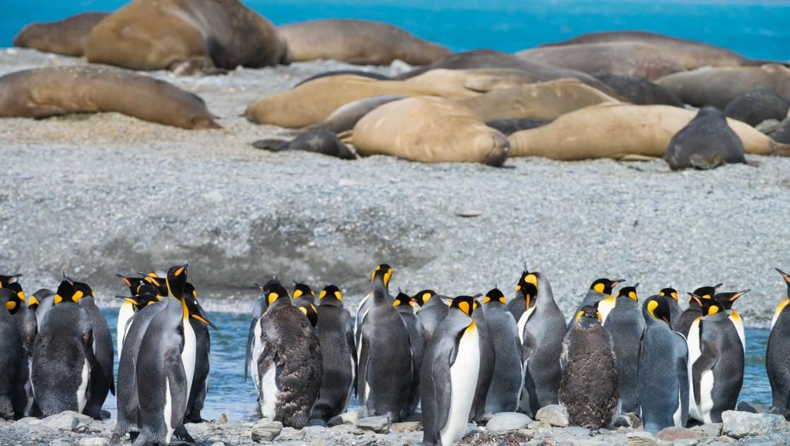 King penguins march while elephant seals sleep in the background, as seen on an expedition to antarctica