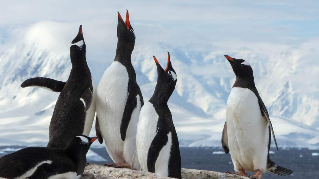 group of gentoo penguins with their beaks in the air in front of snowy mountains in antarctica