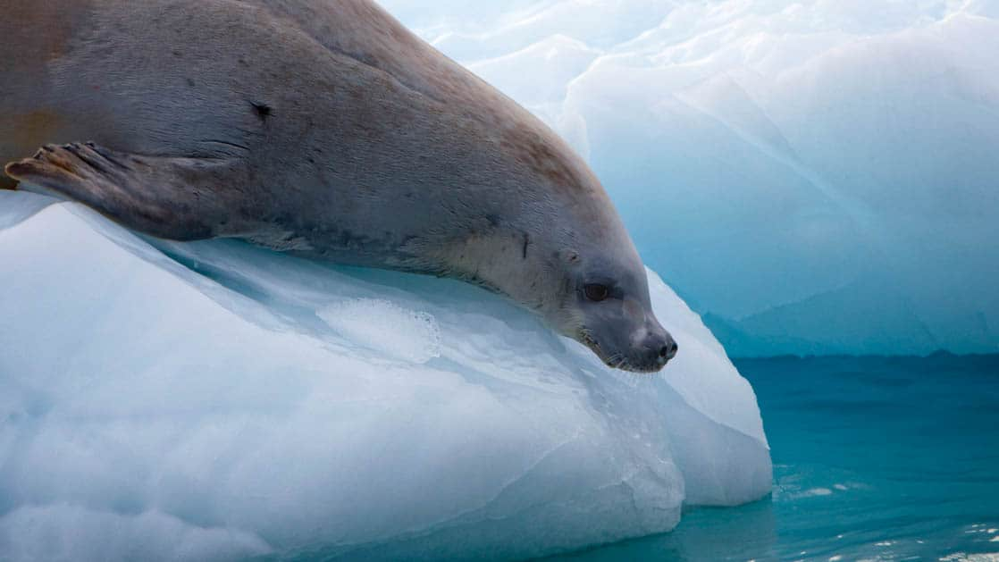 fur seal rests on a piece of ice looking into the water on an overcast day in antarctica