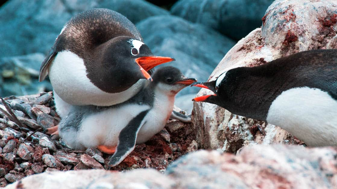 adult antarctica penguins feed a baby with ice and snow surrounding them