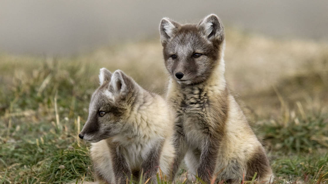 Two cute arctic foxes siting in a meadow with brown and light brown fur.