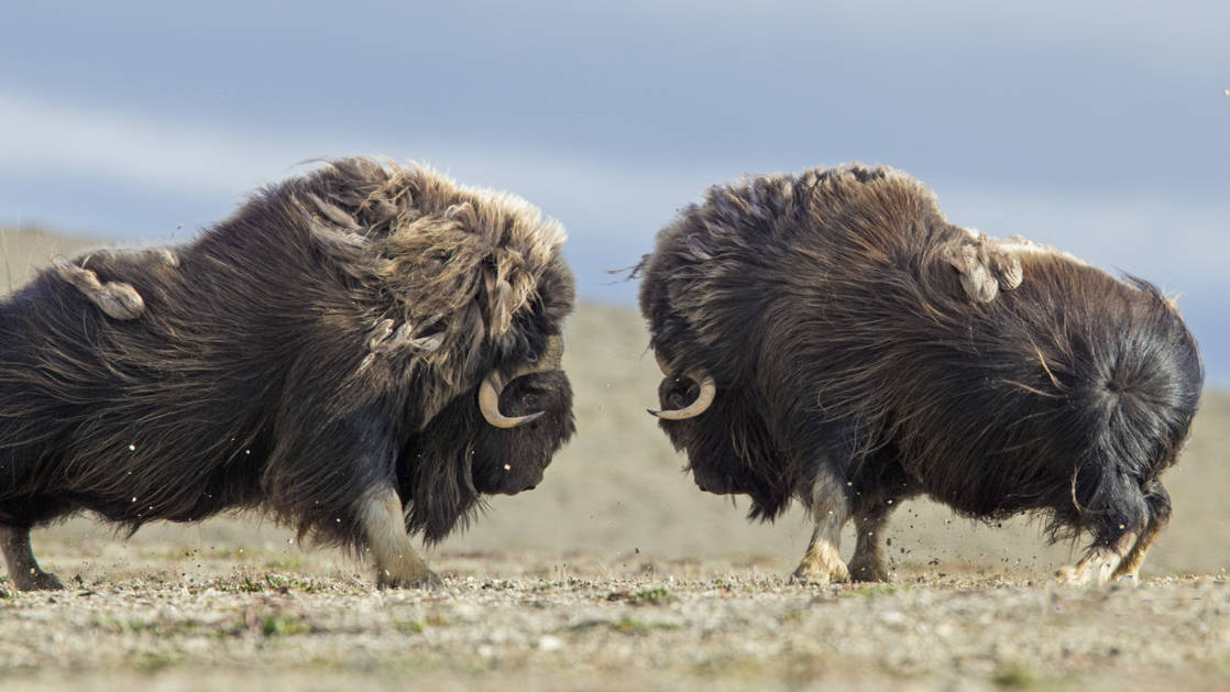 Two muskoxen rutting on the tundra in Canada's high Arctic