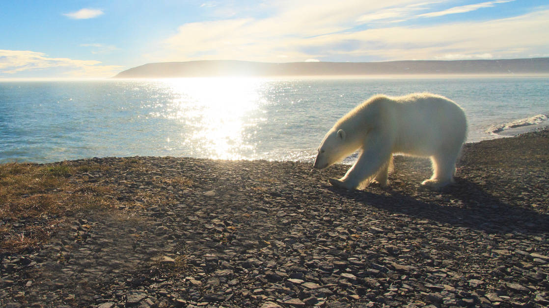 A polar bear walking along the shoreline in Canada's Arctic.