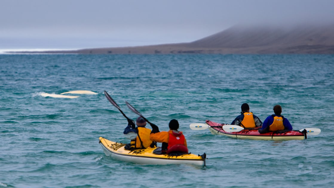 A group of Arctic travelers kayaking alongside beluga whales.