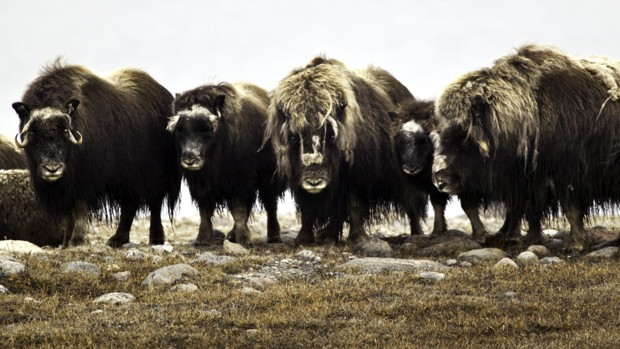 A group of musk ox gathered around on the Arctic tundra
