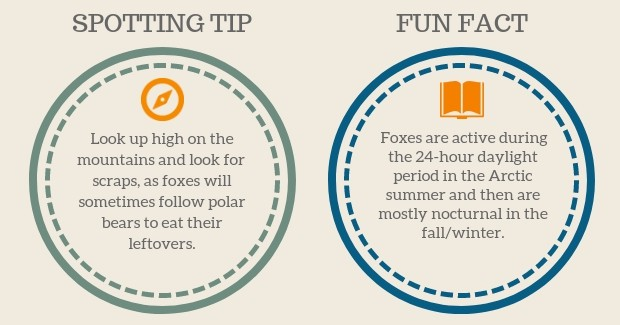 Arctix Fox Spotting Tip and Fun Facts graphic