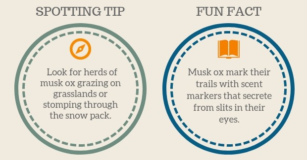 Musk Ox Spotting Tip and Fun Facts graphic