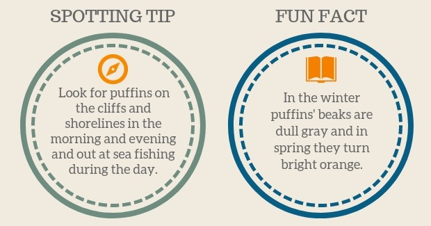 Puffin Spotting Tip and Fun Facts graphic