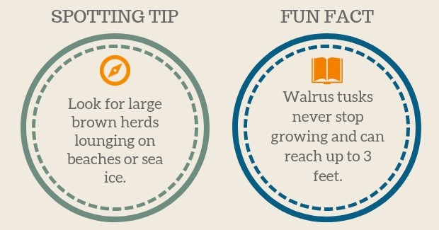 Walrus Spotting Tip and Fun Facts graphic