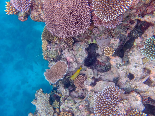Vibrant coral with a yellow fish in the Great Barrier Reef