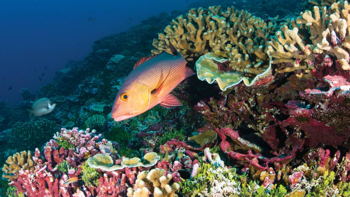 reef snapper swimming out from behind a coral head sitting atop a large colorful pacific islands reef