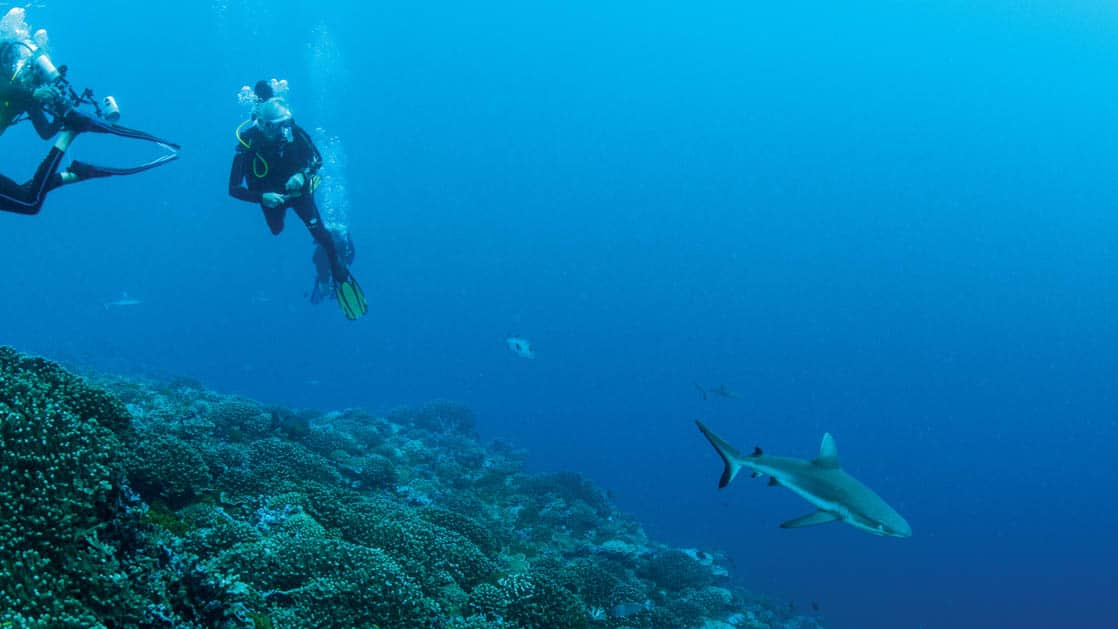scuba divers watch a pacific island reef shark swimming over the coral with other fish and sharks in the background, and blue ocean beyond them
