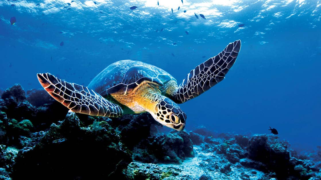 Sea turtle swimming over a coral reef with small blue fish swimming above it on the Azure Seas Azure Seas Tahiti to Marquesas small ship cruise trip
