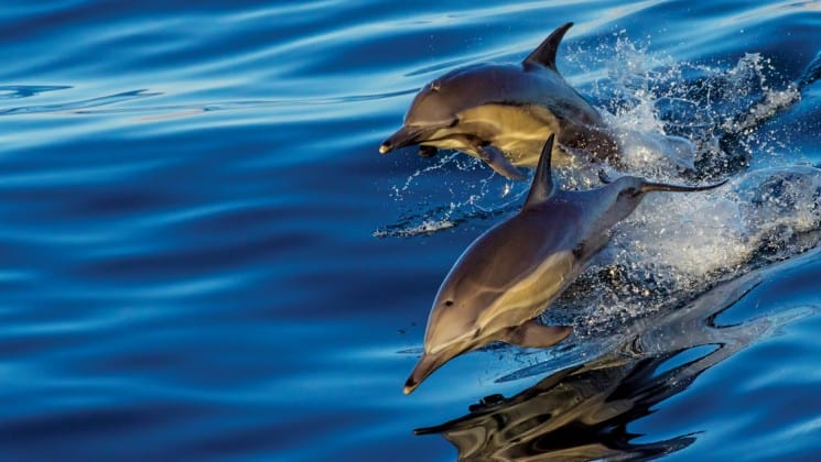 two dolphins jumping seen from baja, california among the great whales small ship cruise