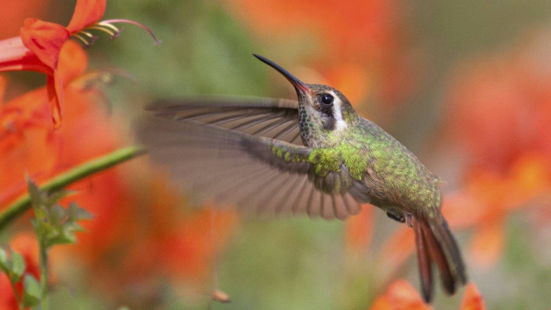 close up of green humming bird near red and orange flowers in baja california