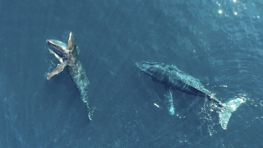 aerial view of two large whales in the blue waters of baja california