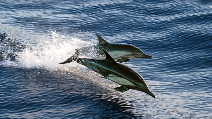 two dolphins jumping beside small ship on baja: a remarkable journey cruise