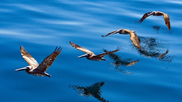 four pelicans flying near baja: a remarkable journey small ship cruise