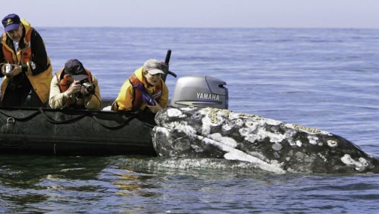 guests on zodiac touching whale during baja: a remarkable journey cruise