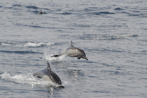 two dolphins jump out of the water in baja california