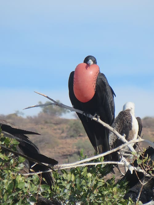 a frigatebird and a seabird perch on branches on a sunny day in baja california