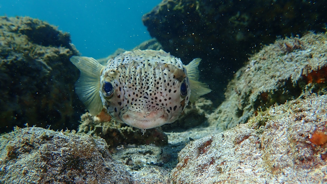 An up-close underwater photo of a puffer fish in Baja's Sea of Cortez. An off yellow fish with wide set large eyes and swollen lips covered in small brown spots.