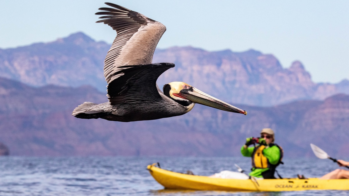 Sitting in a yellow kayak, a woman photographs a pelican flying across the ocean surface in front of her, a Baja mountain range fills the distance.