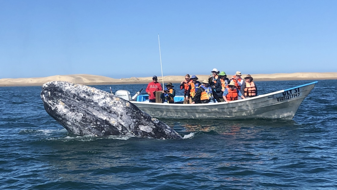 In Baja, a group of travelers stand aboard a panga boat taking photos of a grey whale that is breaching the ocean surface in front of them.
