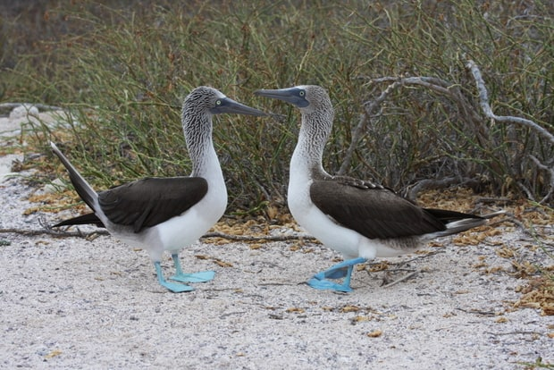 Blue-footed Galapagos birds seen hiking on a land excursion.
