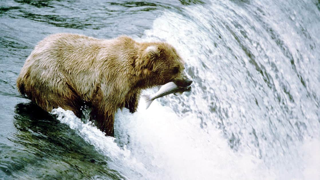 Large brown bear holding a fish in its mouth at the top off brooks falls seen from the viewing platform at the lodge in alaska