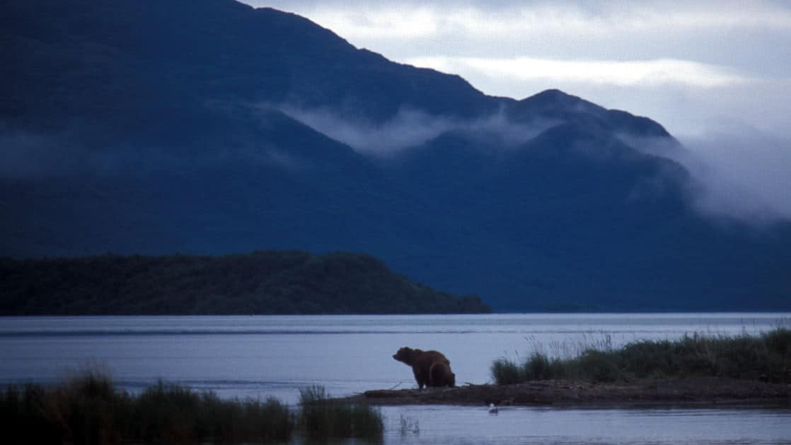 One bear along the river's edge during the evening with low misty clouds on the katmai peninsula in alaska
