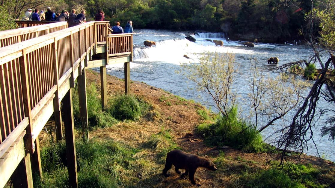 the viewing platform at the brooks lodge above the brooks falls where bears are looking for fish