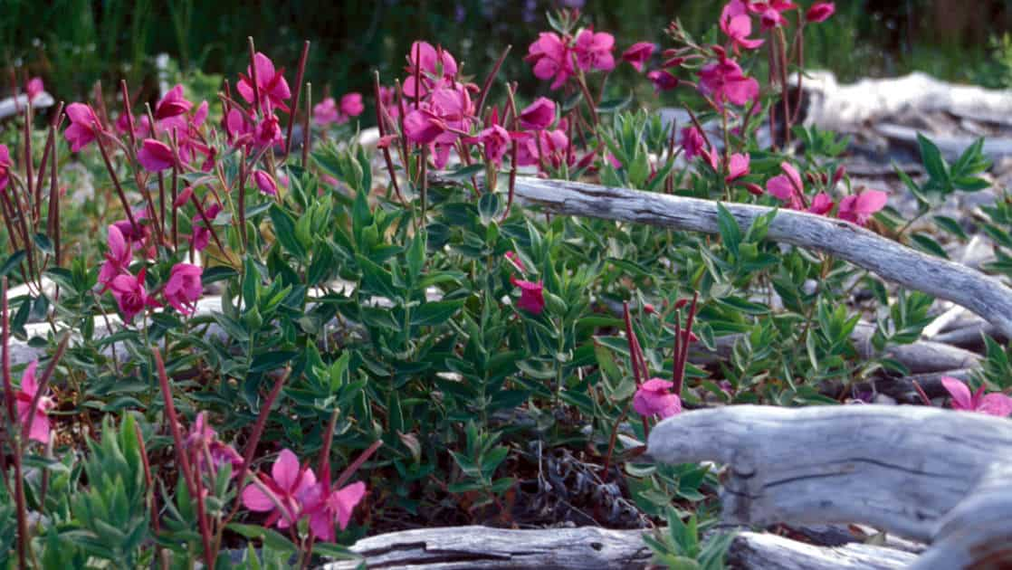 up close of pink wildflowers in katmai national park in alaska
