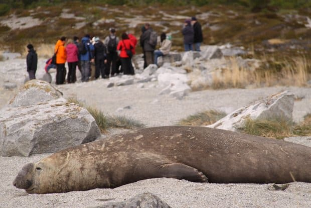Group of travelers in Patagonia on a hike with a large elephant seal sleeping on a sandy beach.