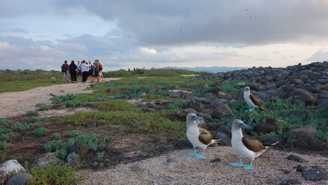 Two Galapagos blue footed booby birds on nest with travelers walking on path nearby