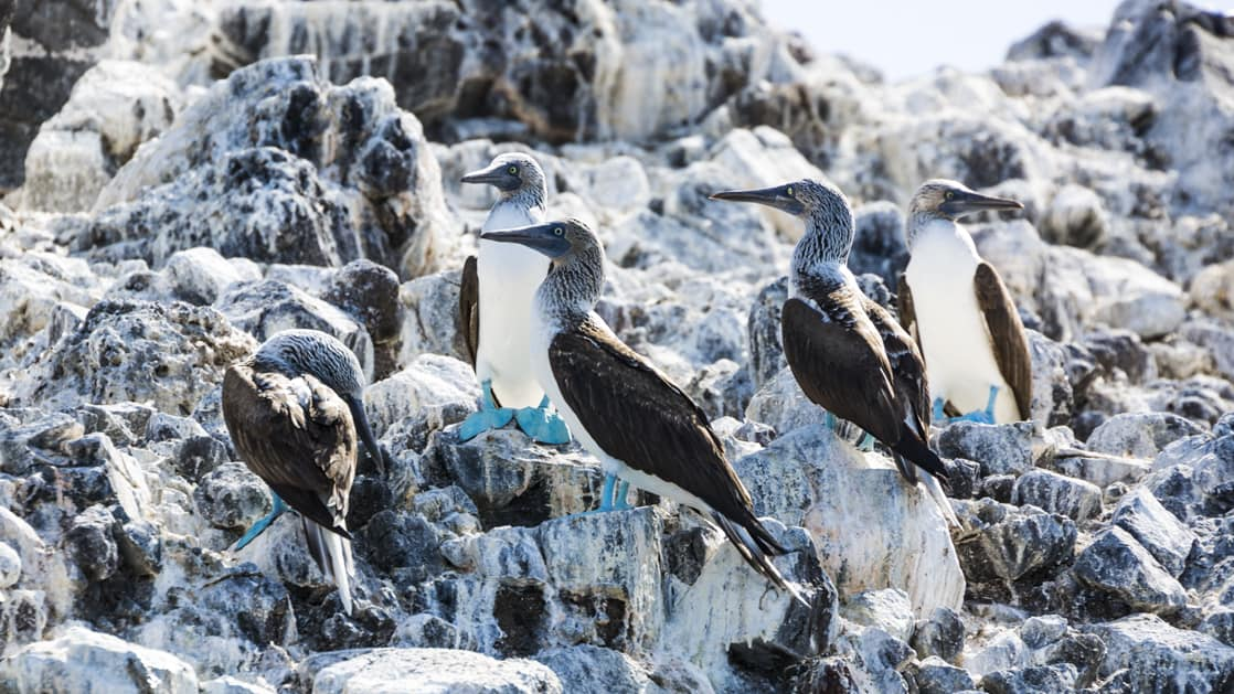 5 blue-footed boobies standing on white and black rocks. The birds have a white chest, blue feet and dark wings.