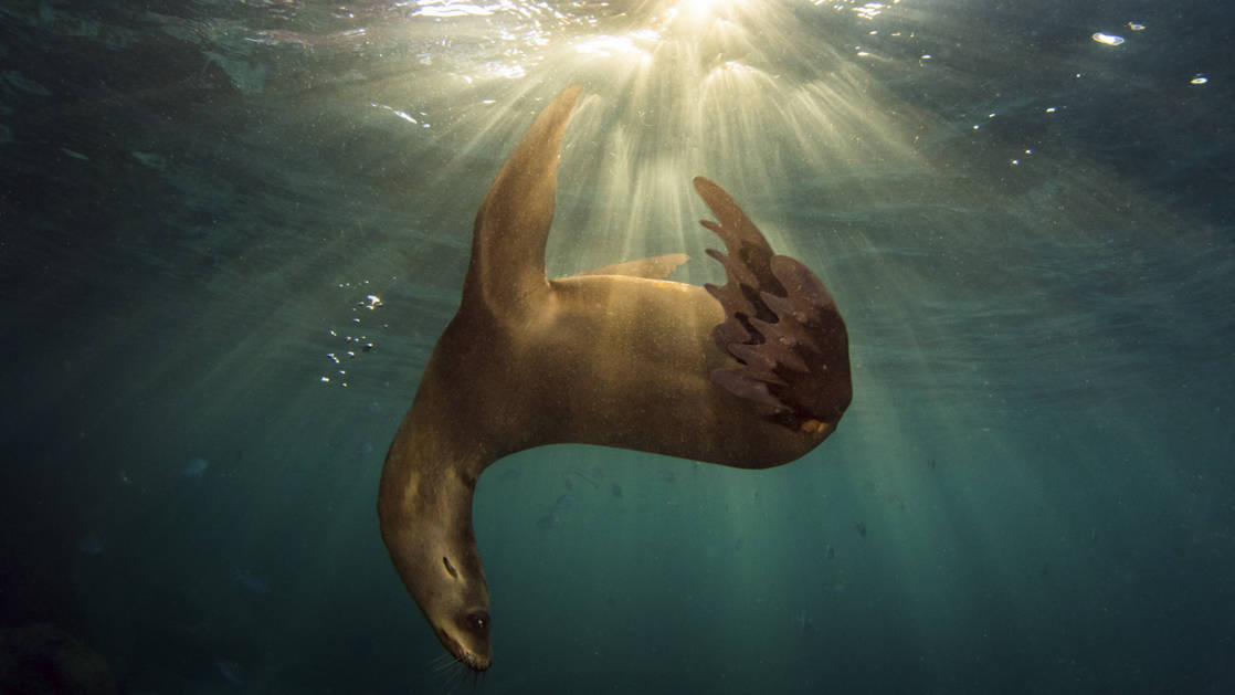 An upside down sea lion in dark water with light shining down on it while it playfully swims.